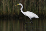 Great Egret 2 pb.jpg