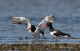 Oyster Catchers pb.jpg