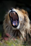 Lion pb.jpg