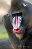 Mandrill Baboon pb.jpg