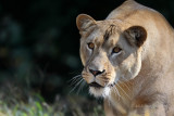 Lioness pb.jpg