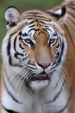 Tiger pb.jpg