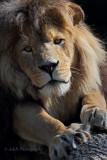 Lion 2 pb.jpg