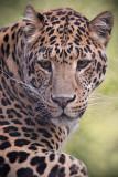 Leopard 3 pb.jpg