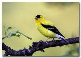 Goldfinch pc.jpg