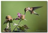 Hummingbird dic pc.jpg