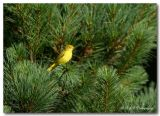 Yellow Warbler pc.jpg