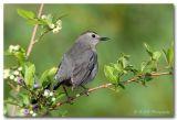 catbird pc.jpg