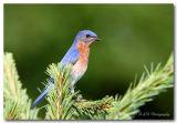 male bluebird pc.jpg