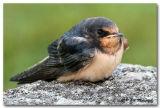 Barn swallow fedgling pc.jpg
