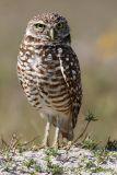 Burrowing Owl pc.jpg