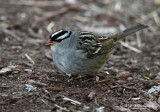 White Crowned Sparrow pb.jpg