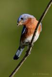 Eastern Bluebird 2 pb.jpg