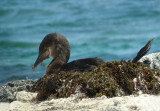 Galapagos Flightless Cormorant, nest