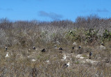 Great Frigatebird Colony