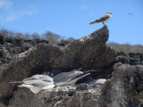 Swallow-tailed Gull  & Galapagos Mockingbird
