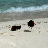 Gulls, Shorebirds, Flamingo
