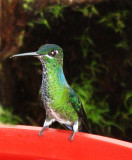 Buenaventura Hummingbirds