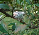 Purple Crowned Fairy nest
