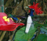 Violet-bellied Hummingbird, White-Necked Jacobin