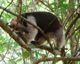 Tamandua anteater, Tamandua mexicana
