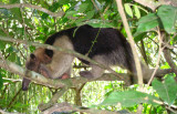 Tamandua anteater,Tamandua mexicana