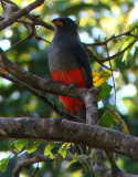 Black-tailed Trogon-female