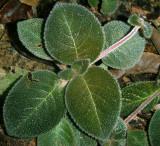 Gesneriad, Espicia cf. lilacina