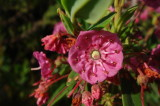 Sheep Laurel - Kalmia Angustifolia