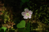 Spring Beauty - Claytonia caroliniana