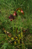 Pitcher Plant - Sarracenia purpurea