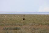 Lucky gazelle