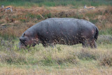 Foraging hippo