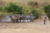 Skittish zebras going for a drink