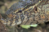 Nile Monitor portrait