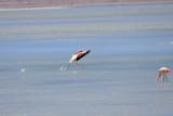 Landing Flamingo