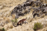 Rowdy Ibex