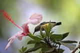 Hibiscus with Sunbird