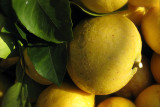Lemons in Cinque Terre