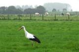 Stork in Het Zwin