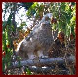 Bebe Great Horned Owl