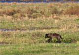 Black Wolf in Lamar Valley