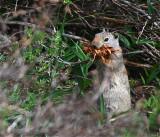 Uinta Ground Squirrel - Schwabacher Landing