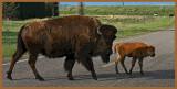 Mama & bebe bison - Gros Ventre Road