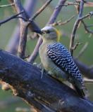 Female Woodpecker