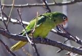Green Parrots in Nicaragua
