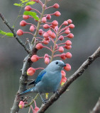 Blue-grey Tanager in Nicaragua