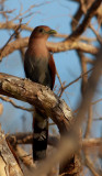 Squirrel Cuckoo, Piaya cayana