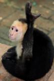Lucus, White Face Monkey