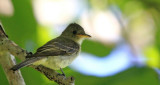 Olive-sided Flycatcher (Pibi Boreal)